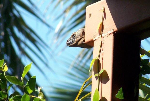 'Our' Iguana