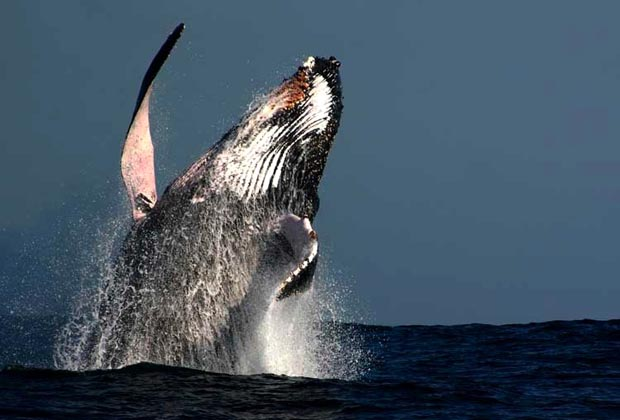Costa Azul San Poncho Riviera Nayarit Whale Breaching