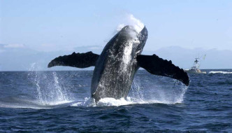 Humpback Whale & Dolphin Research, Bay of Banderas, Puerto Vallarta, Mexico