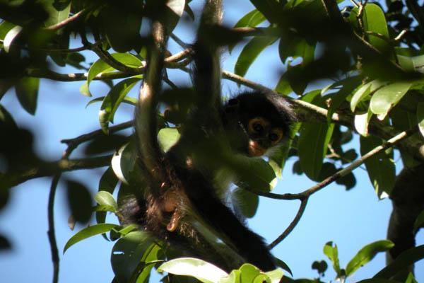 Secret Garden B&B tulum Mayan Jungle spider-monkey3