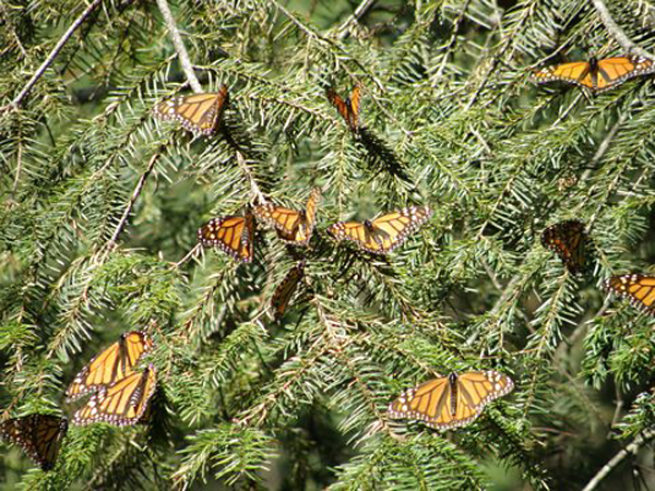 Monarch Butterflies Ruta Canada to Mexico