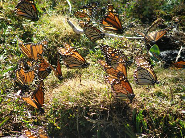 Beautiful Mariposa Butterflies - Mexico - photo by Henry Huber