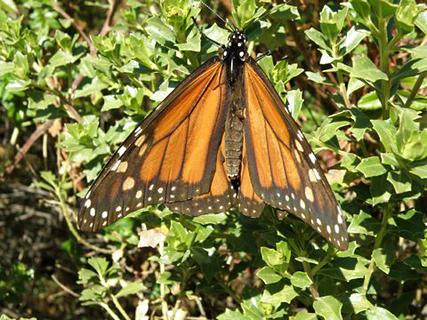 Monarch Mariposa Mexico Photo Credit Henry Huber