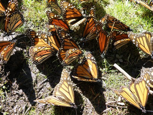 Mariposa Butterfly Retreats Mexico