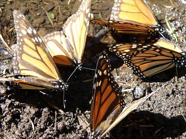 Mariposa Amor Morelia foto by Henry Huber