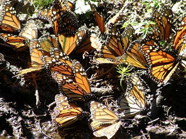 Monarch Mariposas Mexico and Manitoba Courtesy of Henry Huber