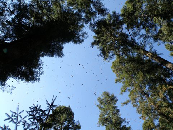 Monarch Butterflies in Pine Forest Mexico